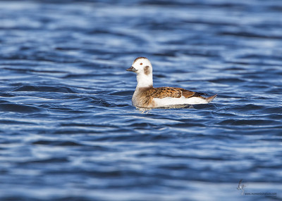 Long-tailed Duck (hen)Mosquito Lake, Ohio