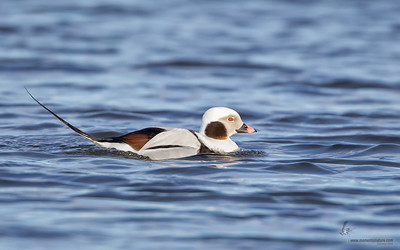 Long-tailed Duck (drake)Mosquito Lake, Ohio