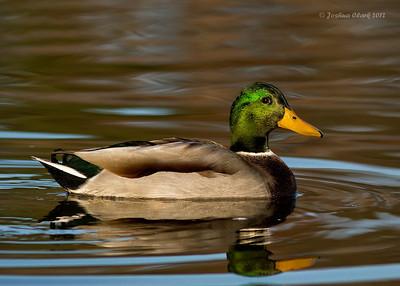 MallardKellogg Bird Sanctuary, Michigan