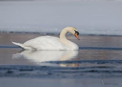 Mute SwanPortage Lakes, Ohio