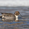 "<center><font face=""Century Gothic"" size=""+1"" color=""#FFFFFF"">Northern Pintail</font></center><font face=""Century Gothic"" size=""+1"" color=""#3366FF""><center><font color=""#377915"">Manchester Road Trailhead, Ohio</font></center></font>"