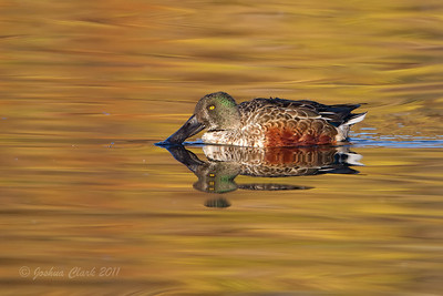 Drake Northern ShovelerW.K. Kellogg Bird Sanctuary