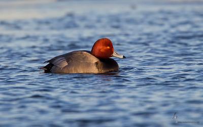 Redhead (drake) Mosquito Lake, Ohio