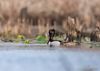 Ring-necked Ducks (drake & hen)Tinkers Creek State Nature Preserve, Ohio