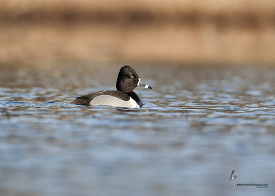 Ring-necked Duck (drake)Tinkers Creek, Ohio
