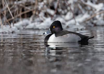 Ring-necked Duck (drake)Manchester Road Trailhead, Ohio