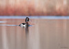 "<center><font face=""Century Gothic"" size=""+1"" color=""#FFFFFF"">Ring-necked Duck</font></center><font face=""Century Gothic"" size=""+1"" color=""#3366FF""><center><font color=""#377915"">Tinkers Creek Park, Ohio</font></center></font>"