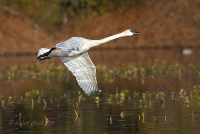 Trumpeter SwanW.K. Kellogg Bird Sanctuary, Michigan
