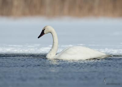 Trumpeter SwanPortage Lakes, Ohio