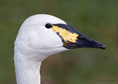 Whopper SwanKellogg Bird Sanctuary, Michigan