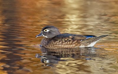Hen Wood Duck North Chagrin Reservation, Ohio