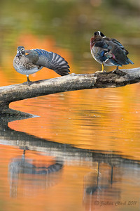 Hen and Drake Wood Duck North Chagrin Reservation, Ohio