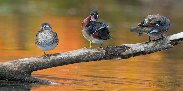 Drake Wood Duck North Chagrin Reservation, Ohio