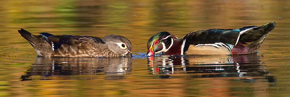 Hen and Drake Wood Duck pair feeding North Chagrin Reservation, Ohio