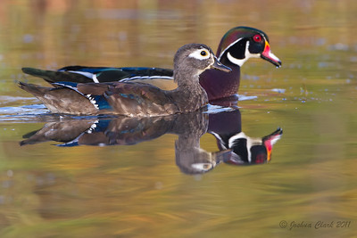 Hen and Drake Wood Duck pair North Chagrin Reservation, Ohio