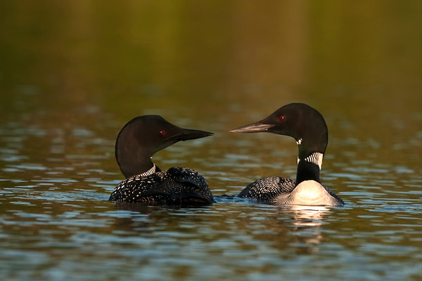 Common Loons Dancing
