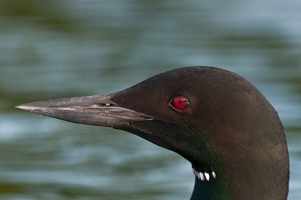 Common Loon Profile