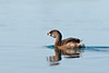 Pie Billed Grebe