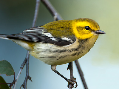 Black-throated Green Warbler (fall plumage), Wood County