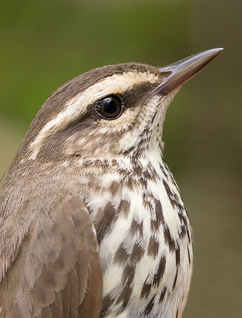 Northern Waterthrush (temporary captive for banding), Black Swamp Bird Observatory