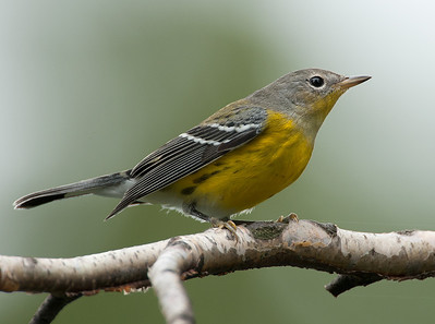 Magnolia Warbler (fall plumage), Wood County