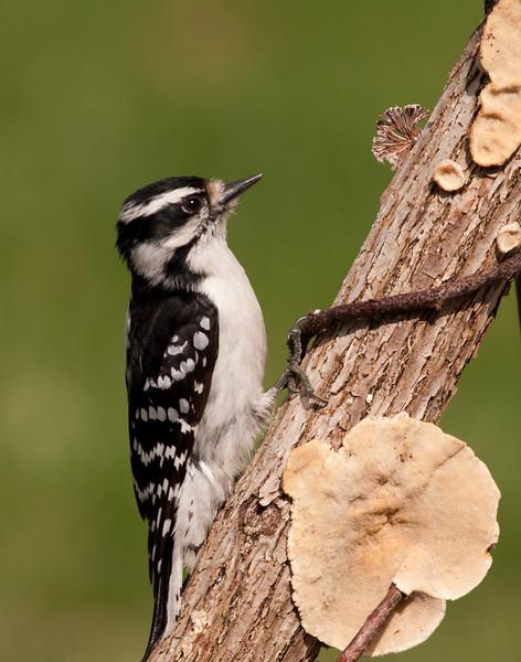 Downey Woodpecker, Female