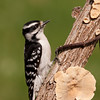 Downey Woodpecker, Female