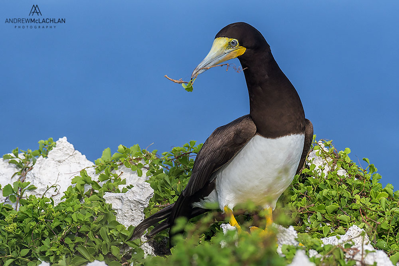 Brown Booby (Sula leucogaster) with nesting material, Cayman Brac, British West Indies
