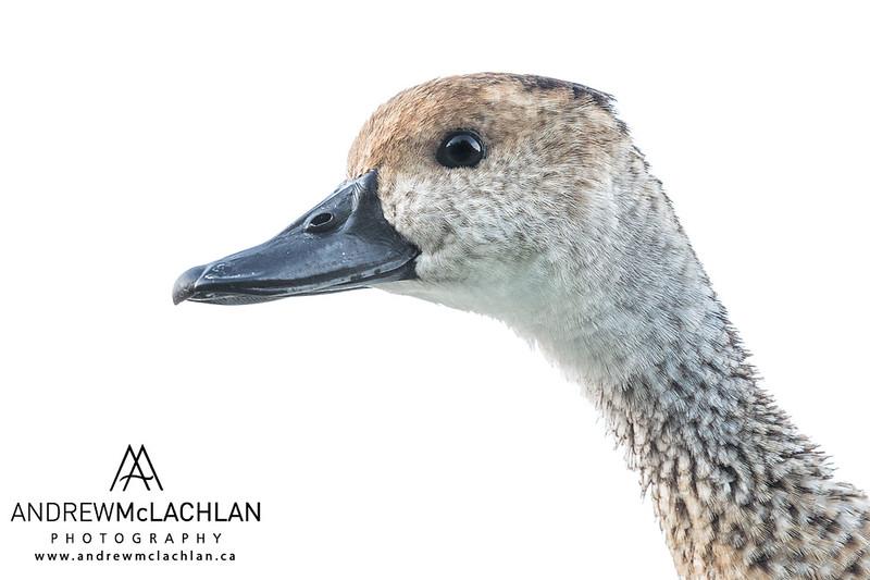 West Indian Whistling Duck (Dendrocygna arborea) - drake on Cayman Brac