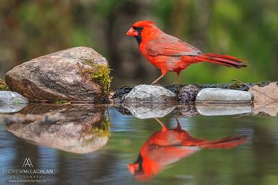 A male Northern Cardinal (Cardinalis cardinalis), Thornton, Ontario, Canada
