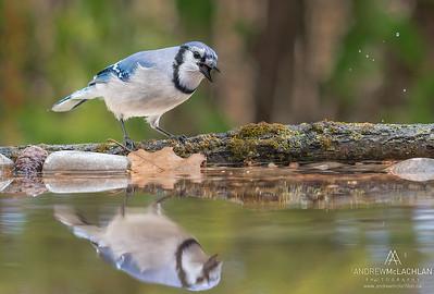 Blue Jay (Cyanocitta cristata), Thornton, Ontario, Canada