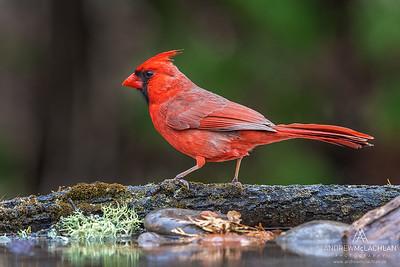 A male Northern Cardinal (Cardinalis cardinalis)