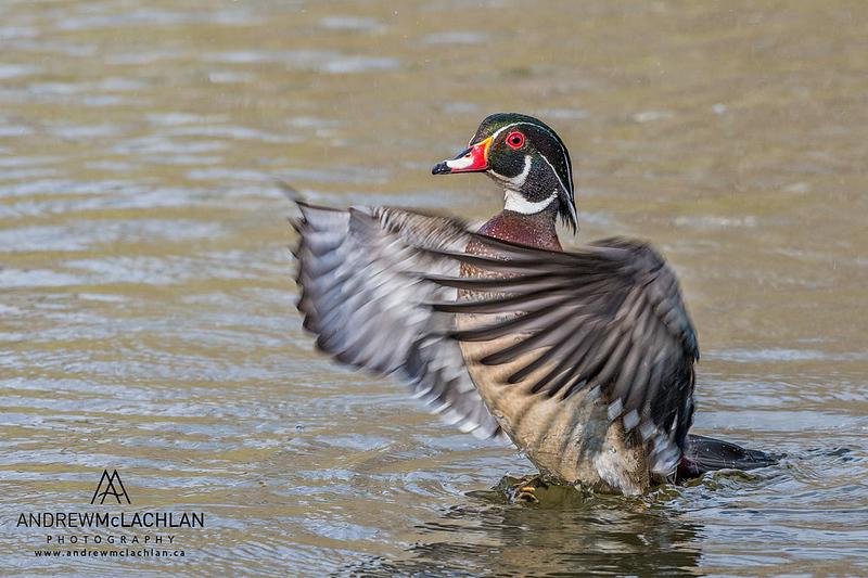 Wood Duck (Aix sponsa) drake wing flap, High Park, Toronto, Ontario, Canada