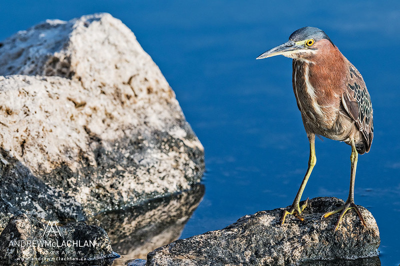 Green Heron (Butorides striatus) on Cayman Brac