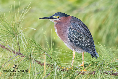 Green Heron (Butorides striatus) on Cayman Brac