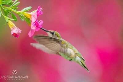 Ruby-throated Hummingbird (Archilochus colubris) female feeding at Petunia blossom