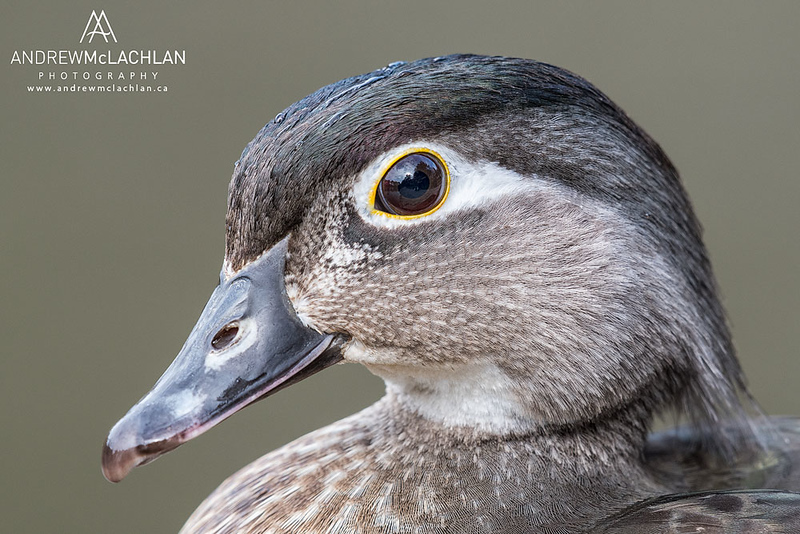 Wood Duck (Aix sponsa) hen, High Park, Toronto, Ontario, Canada