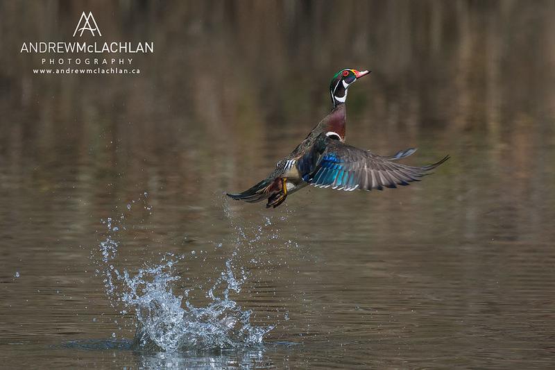 Wood Duck (Aix sponsa) drake taking flight, High Park, Toronto, Ontario, Canada