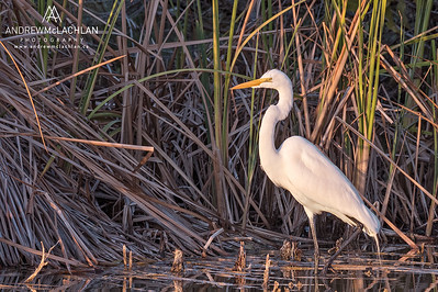 Great Egret (Casmerodius alba) on Cayman Brac