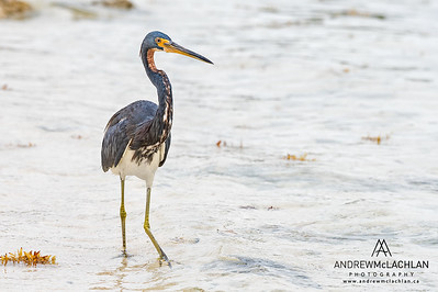 Tricolored Heron (Egretta tricolor) on Cayman Brac