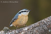 Red-breasted Nuthatch ( sitta canadensis)
