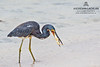 Tricolored Heron (Egretta tricolor) with prey on Cayman Brac