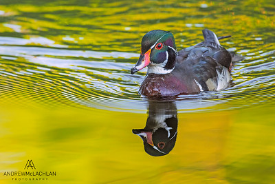 Wood Duck (Aix sponsa) drake