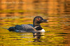 Common Loon (gavia immer) on Horseshoe Lake, Parry Sound, Ontario