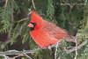 Northern Cardinal (cardinalis cardinalis) - male