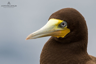 Brown Booby (Sula leucogaster) male, Cayman Brac, British West Indies