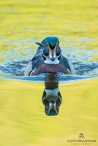 Wood Duck (Aix sponsa) drake