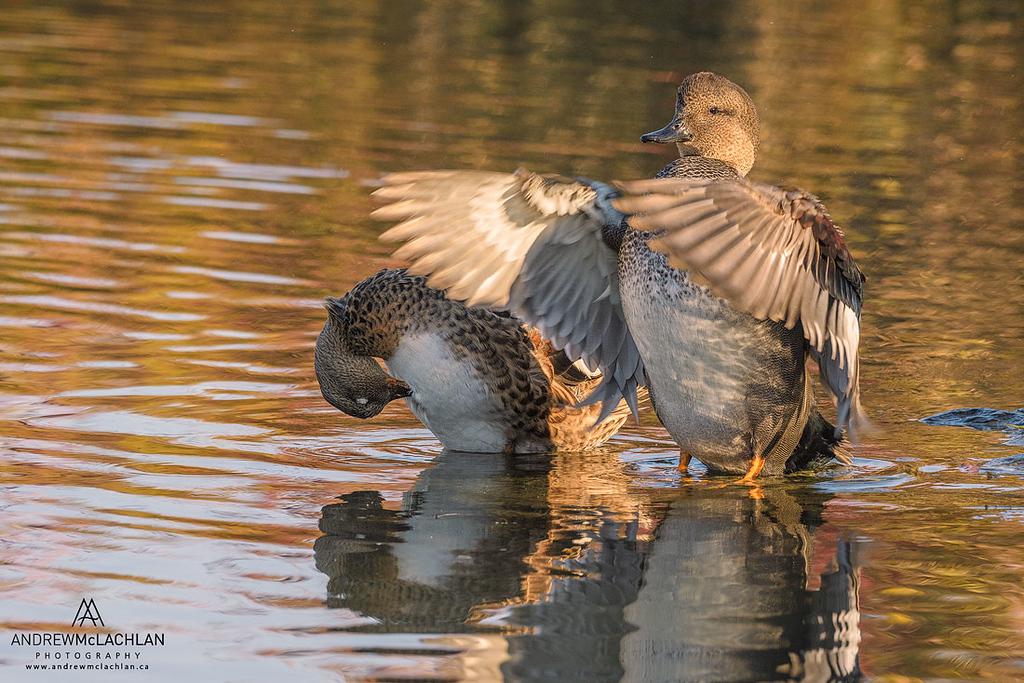 Gadwalls (Anas strepera) at Humber Bay, Toronto, Ontario, Canada