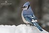 Blue Jay (Cyanocitta cristata) in Algonquin Provincial Park, Ontario, Canada
