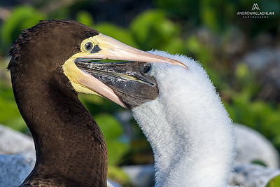 Brown Booby (Sula leucogaster) feeding chick, Cayman Brac, British West Indies